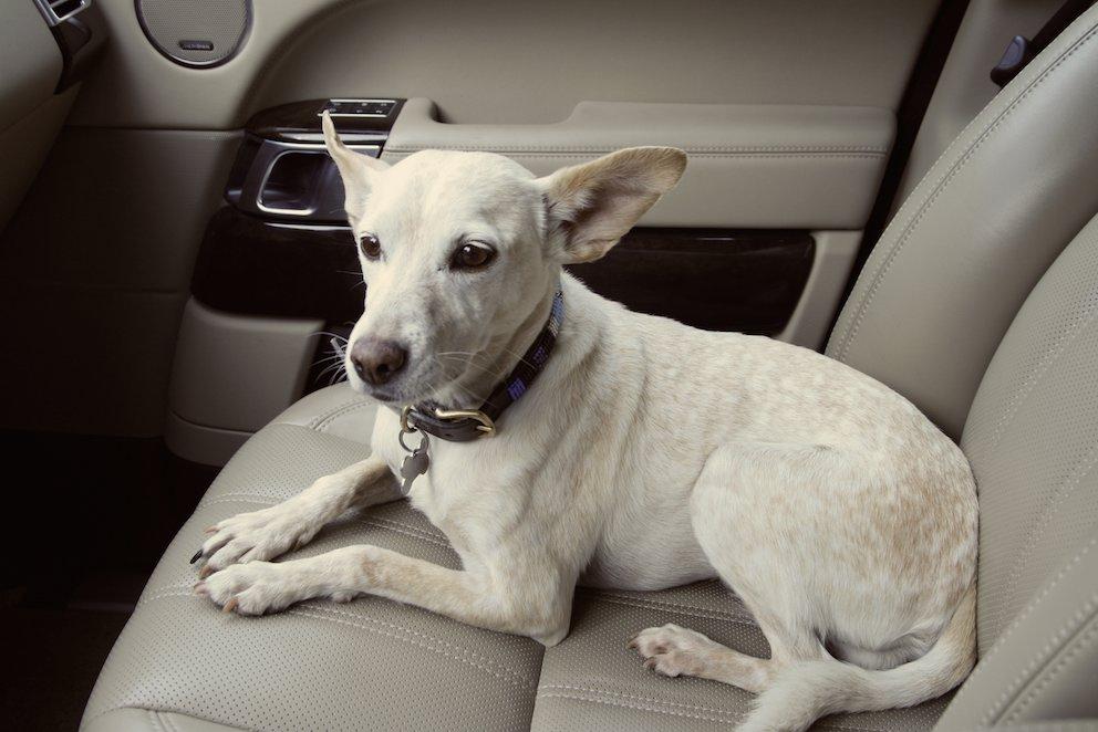 Hund Beifahrersitz schauend