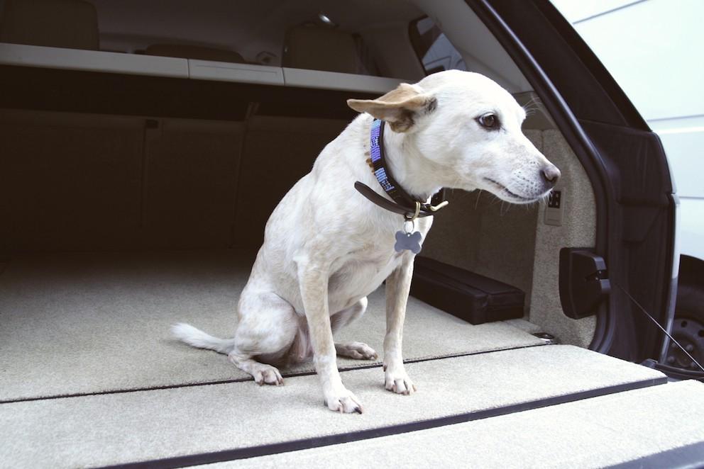 Hund vom range rover schauend