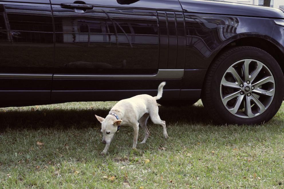 Hund vor Range Rover